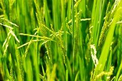 Semillas del primer del arroz Fotografía de archivo libre de regalías