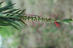 Semillas del ` s del árbol del cepillo de botella Foto de archivo libre de regalías