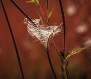 Semillas del sally floreciente (hirsutum del epilobium) Imágenes de archivo libres de regalías