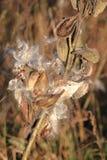Semillas e insectos del Milkweed Imagen de archivo