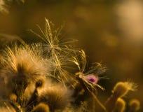 Semillas en las flores del cardo imagen de archivo
