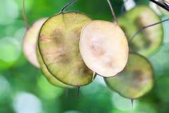 Semillas en seedpods secos Lunaria u honradez Imágenes de archivo libres de regalías