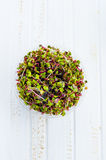 Semillas germinadas del rábano Fotos de archivo libres de regalías
