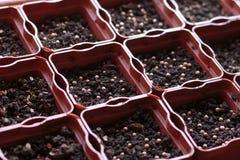Semillas nuevamente plantadas cilantro, hinojo y perejil en el establecimiento de los potes Imágenes de archivo libres de regalías