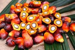 Semillas oleaginosas de palma Imágenes de archivo libres de regalías