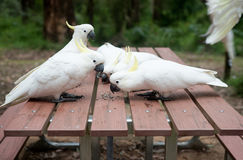 Semillas salvajes del eatng de las cacatúas en la mesa de picnic Fotos de archivo