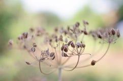 Semillas secas de la planta del eneldo Foto de archivo libre de regalías