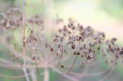 Semillas secas de la planta del eneldo Imagenes de archivo