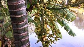 Semillas verdes de la palma Fotos de archivo