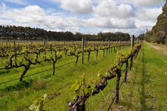 Semillion Grape vines Margaret River Western Australia Royalty Free Stock Photos