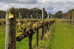 Semillion Grape vines Margaret River Western Australia Stock Photography