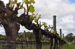 Semillion Grape vines Margaret River Western Australia Royalty Free Stock Photo