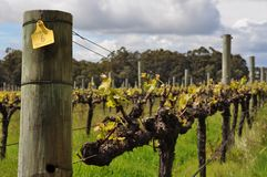 Semillion Grape vines Margaret River Western Australia Royalty Free Stock Images