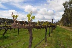 Semillions-Weinreben Margaret River Western Australia Lizenzfreie Stockfotos