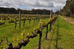 Semillions-Weinreben Margaret River Western Australia Lizenzfreies Stockfoto