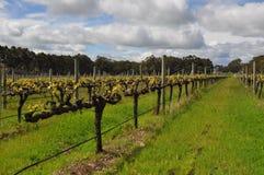Semillions-Weinreben Margaret River Western Australia Stockfoto