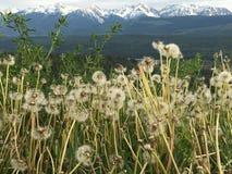Semina del fondo di Rocky Mountains della priorità alta dei denti di leone Fotografie Stock Libere da Diritti