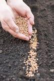 Semina del grano nella terra agricoltura Immagine Stock