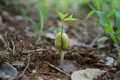 Semina della pianta Fotografia Stock Libera da Diritti