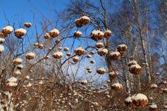 Semina il kalinolistnogo di physocarpus (opulifolius di Physocarpus) nella neve La Russia Fotografia Stock Libera da Diritti
