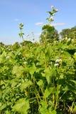 Semina sbocciante del grano saraceno contro il cielo blu Immagine Stock Libera da Diritti
