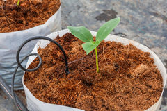 Semina verde della pianta del cetriolo Fotografia Stock Libera da Diritti