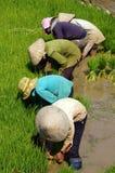Semina vietnamita del riso del trapianto dell'agricoltore Fotografie Stock