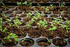 Semini la coltura in una pianta del vassoio dell'albero Fotografie Stock Libere da Diritti