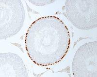 Seminiferous tubules. Labelling of proliferating cells. Labelling with bromodeoxiuridine BrdU of proliferating cells. The spermatogonia of a single seminiferous Stock Photo