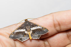 Semiothisa eleonora moth Stock Photography