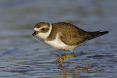Semipalamated Plover tugging a worm out of the sand - Florida. Semipalamated Plover Charadrius selmipalmatus tugging a worm out of the sand - Crystal River stock images