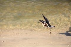 Semipalmata för Willet shorebirdTringa längs kusten av Clam Pass fotografering för bildbyråer