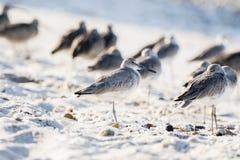 Semipalmata Tringa Willet отдыхая на пляже белого песка скалистом Стоковая Фотография RF