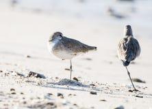 Semipalmata Tringa Willet отдыхая на пляже белого песка скалистом Стоковое фото RF