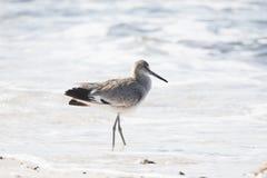 Semipalmata Tringa Willet отдыхая на пляже белого песка скалистом Стоковые Изображения
