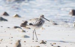 Semipalmata Tringa Willet отдыхая на пляже белого песка скалистом Стоковые Фото