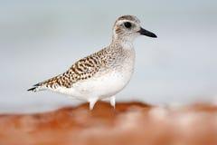 Semipalmated矶鹞, Calidris pusilla,海水鸟在自然栖所 在海洋海岸白色鸟的动物在沙子 图库摄影