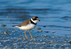 Semipalmated Plover. (Charadrius semipalmatus) by the surf royalty free stock image