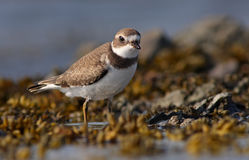 The Semipalmated Plover Stock Images