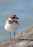 Semipalmated Plover. Photograph of a Semipalmated Plover on a rock jetty along a Lake Michigan shoreline, with the pleasant blue of the water color as the stock photography