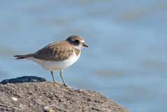 Semipalmated Plover. Photograph of a Semipalmated Plover on a rock jetty along a Lake Michigan shoreline, with the pleasant blue of the water color as the royalty free stock images