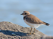 Semipalmated Plover. Photograph of a juvenile Semipalmated Plover on a rock along the shores of Lake Michigan Royalty Free Stock Photos