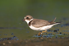 Semipalmated plover. (Charadrius semipalmatus), Jamaica Bay Wildlife Refuge, New York Stock Photo