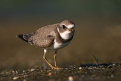 Semipalmated plover. (Charadrius semipalmatus), Jamaica Bay Wildlife Refuge, New York Stock Photos