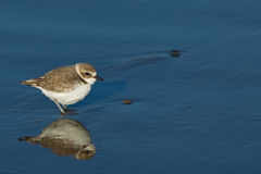 Semipalmated Plover (Charadrius semipalmatus) Royalty Free Stock Image