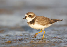 Semipalmated Plover, Charadrius semipalmatus Royalty Free Stock Images