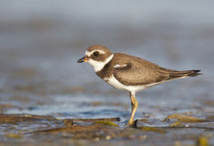 Semipalmated Plover, Charadrius semipalmatus Royalty Free Stock Image