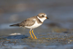Semipalmated Plover, Charadrius semipalmatus Stock Images