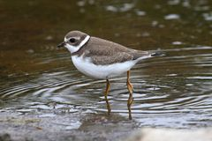 Semipalmated Plover (Charadrius semipalmatus) Royalty Free Stock Photography
