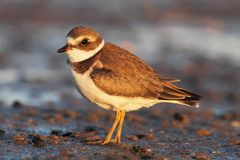 Semipalmated Plover (Charadrius semipalmatus) Stock Photo